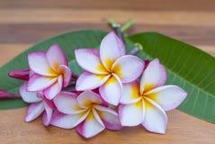 Fiore dentellare di Plumeria Immagine Stock