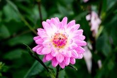 Fiore dentellare e bianco della dalia Fotografie Stock