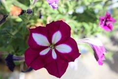 Fiore dentellare e bianco della petunia Immagini Stock Libere da Diritti