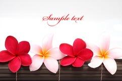 Fiore dentellare e rosso di Plumeria del Frangipani Immagine Stock