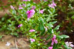 Fiore dentellare nel giardino Fotografia Stock Libera da Diritti
