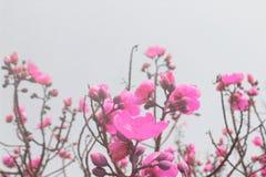 Fiore dentellare su priorità bassa bianca fiori rosa della molla sull'albero Fotografia Stock Libera da Diritti
