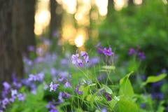 Fiore di ŒBlue del ¼ del ï di violaceus di Orychophragmus fotografie stock libere da diritti