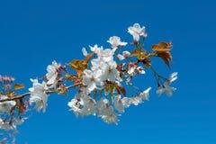 Fiore di acni rosacee del Prunus su un fondo blu Fotografie Stock Libere da Diritti