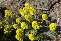 Fiore di aeonium fotografie stock