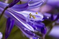Fiore di agapanthus Fotografia Stock Libera da Diritti