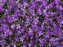 Fiore di agapanthus Fotografie Stock
