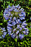 Fiore di agapanthus nel giardino Immagini Stock Libere da Diritti