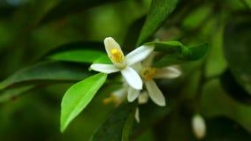 Fiore di agrumi stock footage