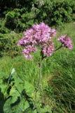 Fiore di alliariae di Adenostyles Immagine Stock