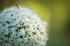 Fiore di allium cepa Fotografie Stock Libere da Diritti