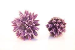 Fiore di allium schoenoprasum Fotografia Stock Libera da Diritti