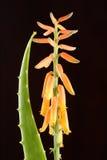 Fiore di aloe Vera con la foglia Fotografia Stock