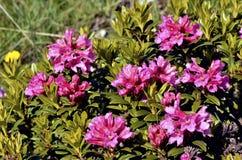 Fiore di Alpenrose del primo piano nelle alpi francesi Fotografia Stock Libera da Diritti