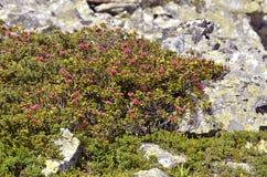 Fiore di Alpenrose nelle alpi francesi Immagini Stock