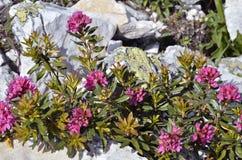 Fiore di Alpenrose nelle alpi francesi Fotografia Stock Libera da Diritti
