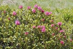 Fiore di Alpenrose nelle alpi francesi Immagini Stock Libere da Diritti