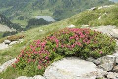 Fiore di Alpenrose in Pirenei Fotografia Stock Libera da Diritti