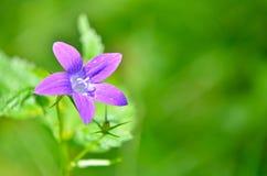 Fiore di Alpina della campanula Immagine Stock