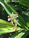 Fiore di alpinia galanga nel giardino della natura Immagine Stock