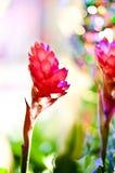 Fiore di alpinia purpurata in giungla Fotografia Stock