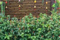 Fiore di alpinia purpurata nella progettazione del giardino Immagini Stock