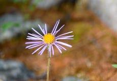 Fiore di alpinus dell'aster in valle di Aktru Repubblica di Altai La Russia Fotografia Stock