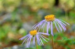 Fiore di alpinus dell'aster in valle di Aktru Repubblica di Altai La Russia Immagine Stock