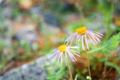 Fiore di alpinus dell'aster in valle di Aktru Repubblica di Altai La Russia Fotografia Stock Libera da Diritti