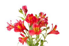 Fiore di Alstroemeria Fotografia Stock