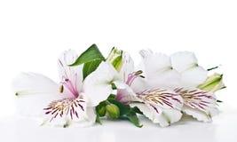 Fiore di Alstroemeria Immagini Stock
