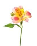 Fiore di Alstroemeria Fotografia Stock Libera da Diritti
