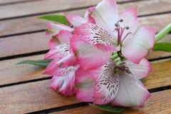 Fiore di Alstroemeria Immagine Stock Libera da Diritti