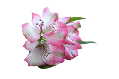 Fiore di Alstroemeria Immagine Stock