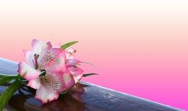 Fiore di Alstroemeria con fondo rosa Fotografie Stock Libere da Diritti