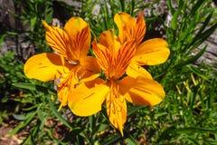 Fiore di Alstroemeria, fiore dell'arancia del giglio peruviano Fotografia Stock Libera da Diritti