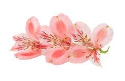 Fiore di Alstroemeria isolato Immagine Stock Libera da Diritti