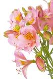 Fiore di Alstroemeria su bianco Fotografia Stock Libera da Diritti