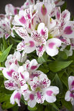 Fiore di Alstromeria Fotografia Stock Libera da Diritti