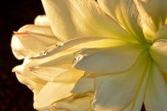 Fiore di Amaryllis con le gocce di acqua Fotografia Stock Libera da Diritti