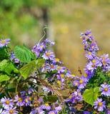 Fiore di amellus dell'aster Fotografie Stock