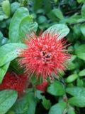 Fiore di Amon Immagini Stock