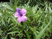 Fiore di Anggrek Fotografia Stock Libera da Diritti