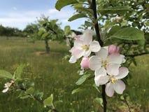 Fiore 1 di Apple Fotografie Stock Libere da Diritti