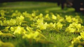 Fiore di argentea di Tabebuia Immagine Stock
