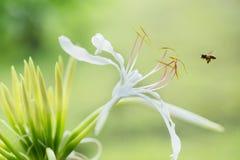 Fiore di asiaticum di Crinum Fotografia Stock Libera da Diritti