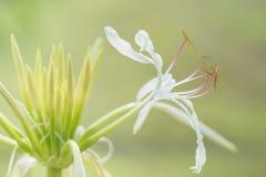 Fiore di asiaticum di Crinum Fotografia Stock