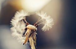 Fiore di autunno di un dente di leone Fotografie Stock