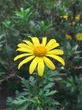Fiore di Baguio Immagini Stock Libere da Diritti