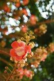 Fiore di Balltree del cannone Immagine Stock